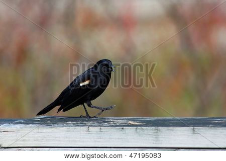 Red winged black bird on the fence