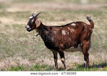 Brown goat grazing in the middle of meadow