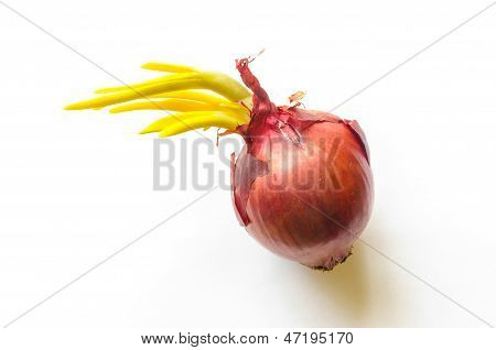 Red Onion With Sprout