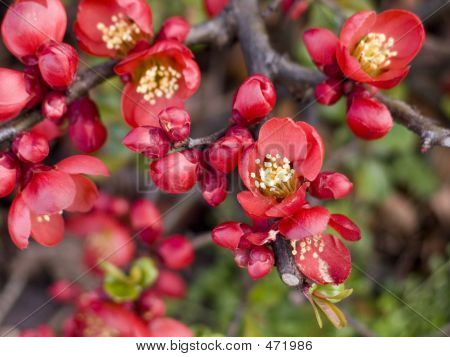 Red Flowering Bush