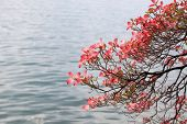 stock photo of magnolia  - Beautiful blooming magnolia branch on lake background.
