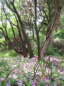 foto of backwoods  - Forest landscape with fallen petals photographed at Trengwainton Garden in Madron in Cornwall - JPG
