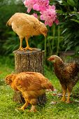Three Chickens In The Garden