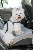 image of seatbelt  - Small dog maltese sitting safe in the car on the back seat in a safety harness - JPG