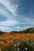 California Poppy Fields