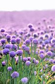 foto of chives  - Lush blooming chives field area near Arsdale on Bornholm Denmark