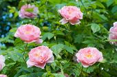 foto of climbing rose  - Pink climbing roses in a garden close up