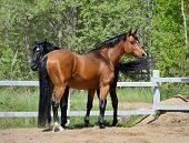 Two purebred horses poster