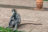 foto of hanuman  - Hanuman langur with young in Anuradhapura - JPG