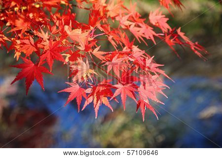 Japanese Maple Tree Leaves ( Momiji )