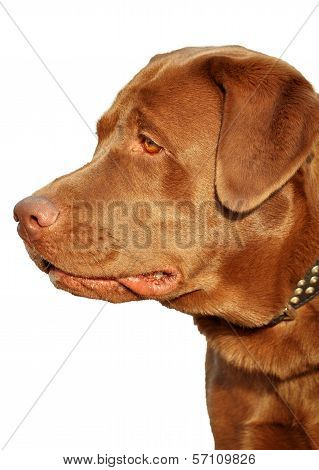Brown Labrador In Profile