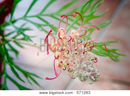 Australian Native Grevillea