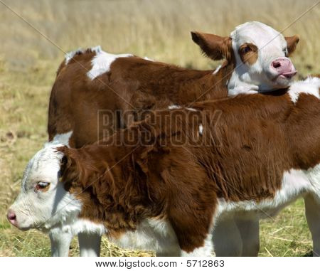 Springtime Fun Simmental Calves At Play