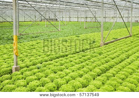 Growing Endive And Salad Plants In Glasshouse