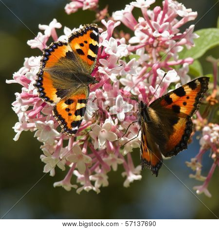Small Tortoiseshell Butterflies On Syringa Flowers