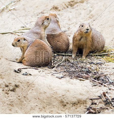 Four Prairie Dogs