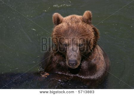 Bathing Kodiak Bear