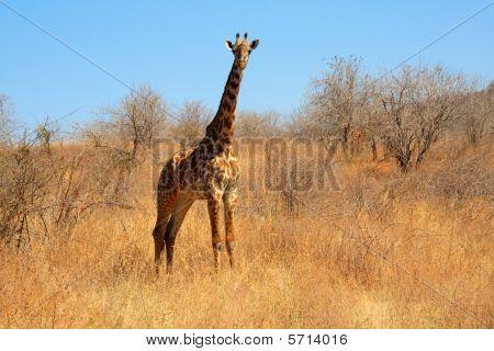Young giraffe in bush