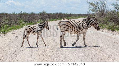 Burchells Zebra (equus Burchelli) With Young Crossing Gravel Road