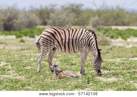Burchells Zebra (equus Burchelli) With Young