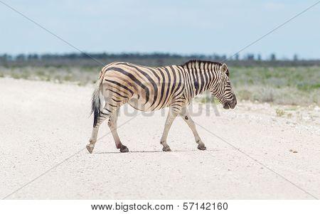 Burchells Zebra (equus Burchelli) Crossing Gravel Road