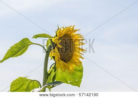 Single Yellow Sunflower