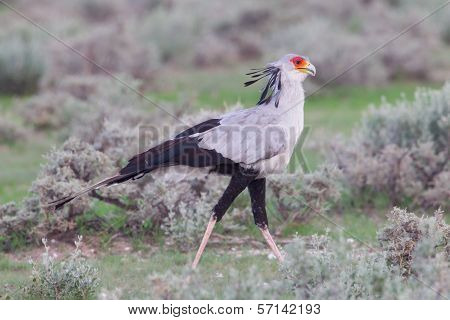 Secretary Bird, Sagittarius Serpentarius In Grass