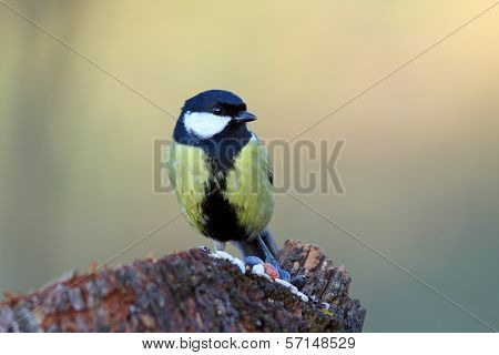 Great Tit On A Stump With Seeds