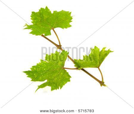 The Isolated Grapevine