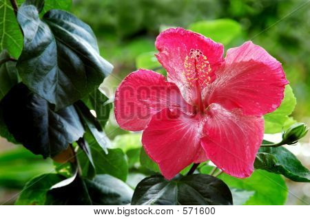 Flor de Hibiscus rosa