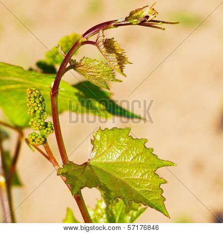 Spring Buds Sprouting On A Grape Vine In The Vineyard