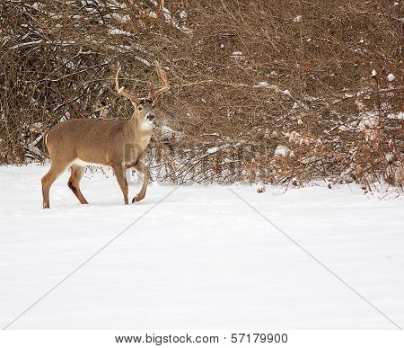 White Tailed Deer Buck