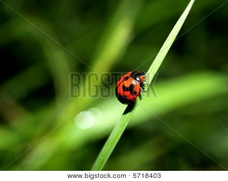 bug  spot lady bird
