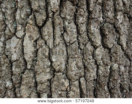 Hickory Tree Bark