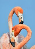 picture of pink flamingos  - Portrait of the two Caribbean flamingo - JPG