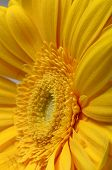 Macro Of Yellow Flower Aster