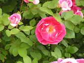 stock photo of pink rose  - Close up of pink rose - JPG