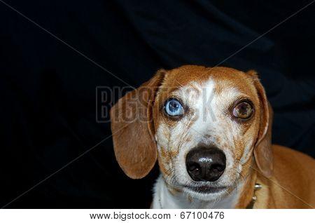 Multi color eyes Dachshund