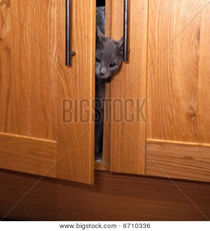 Grey Kitten Emerging From A Cupboard