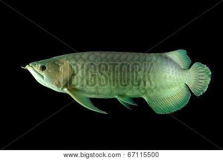 Arowana Fish On Black Background