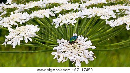 Heracleum Flower And Cetonia Aurata