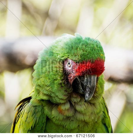 Close Up Of A Mexican Military Macaw