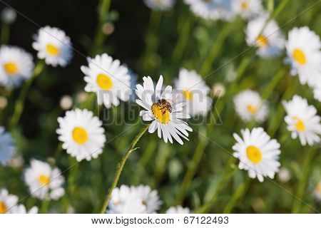Green Flowering Meadow With White Daisies And Honey Bee.