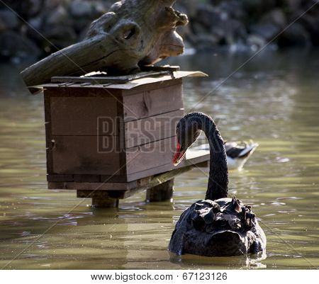 Black Swan And Birdhouse On The Water