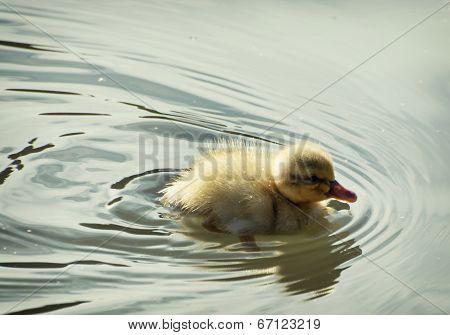 Little Mallard Duckling