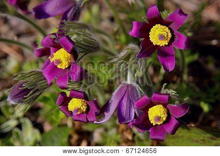 Pasqueflowers