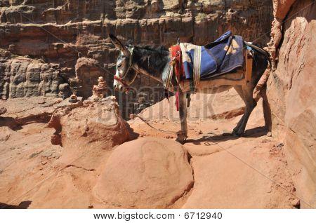 Jordanien Donkey at Petra