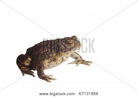 Sitting Brown Toad
