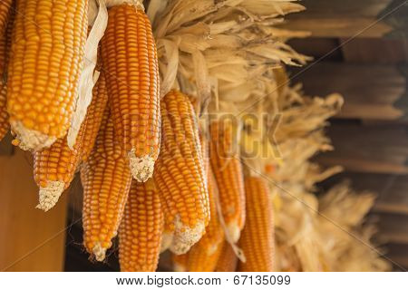 Dried Corns Is Hanged On The Roof.