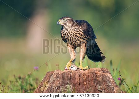 Northern goshawk with a mouse